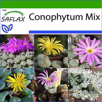 Saflax - 40 Samen - mit Boden - Blüte Steinen / Conophytum Mix - Des Pierres Fleurissantes / Mélange de Conophytum - Conophytum (Mix) - Conophytum Mix - Blühende Steine / Conophytum-Mix