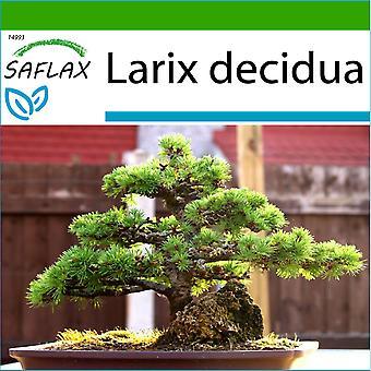 Saflax - 75 Samen - mit Boden - Bonsai - Lärche - Mélèze d ' Europe - Larice Comune - Alerce Europeo - B - Europäische Lärche