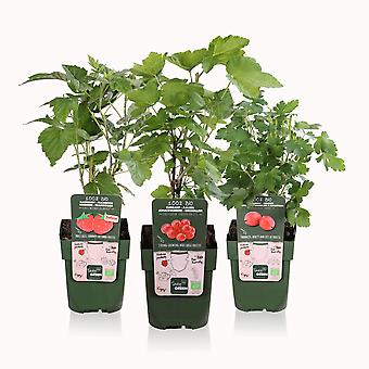 Tasty Green - Bio Fruit - Red Fruit Trio: Red Currant, Summer Raspberry, Red Gooseberry