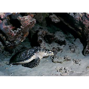 A Hawksbill Sea Turtle rests in the sand under a reef ledge Poster Print by Michael WoodStocktrek Images