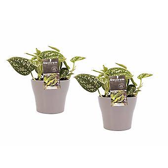 Piante da interno da Botanicly – 2 × Scindapsus pictus – Altezza: 15 cm