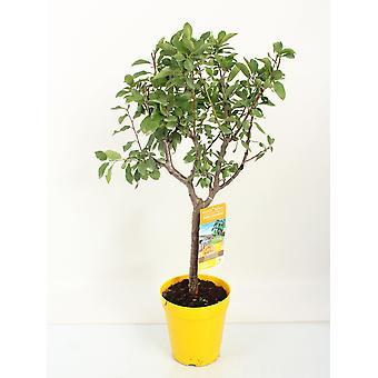 Fruitgewas van Botanicly – Pruim plant – Hoogte: 100 cm – Prunus Domestica