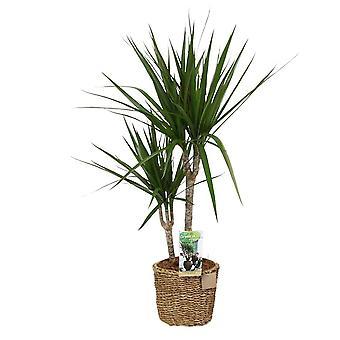 Indendørs plante fra botanisk - Dragon træ - Højde: 80 cm - Dracaena Marginata