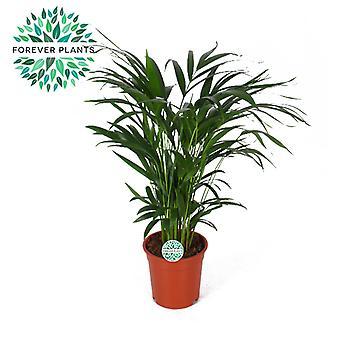 Zimmerpflanze von Botanicly – Goldfruchtpalme – Höhe: 60 cm – Areca dypsis lutescens