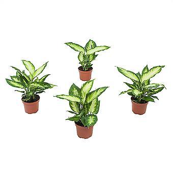 Stueplanter fra Botanicly – 4 × Dieffenbachia Camilla – Højde: 30 cm