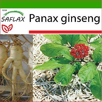 Saflax - 10 graines - Avec sol - Ginseng coréen - Ginseng corée - Ginseng - Ginseng - Ginseng genuino coreano - Echter Koreanischer Ginseng