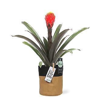 "Bromelia Guzmania Tala + pot ""BigBag"" - Height 46 cm - Diameter pot 13 cm"