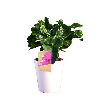 Zimmerpflanze – Baumfreund in weißem Übertopf als Set – Höhe: 30 cm