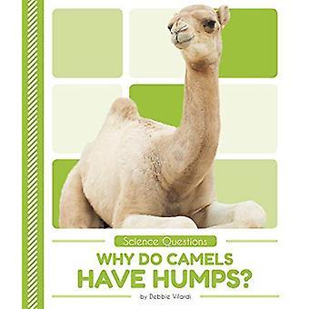 Waarom hebben kamelen bulten?
