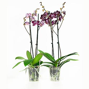 BOTANICLY Phalaenopsis Chien Xen Pearl  - Butterfly orchid purple