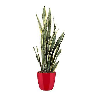 Pianta d'appartamento – Lingua di Suocera in vaso rosso come set – Altezza: 80 cm