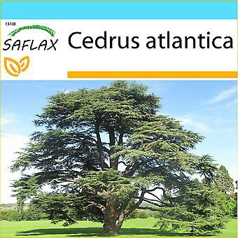 Saflax - gave sett - 20 frø - nordafrikanske Atlas Cedar - Cèdre de l'Atlas - Cedro dell'Atlante - Cedro azul del Atlas - Nordafrikanische Atlas Zeder