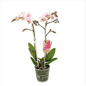 Orchidea – Orchidea farfalla – Altezza: 50 cm, 2 germogli, fiori bianchi
