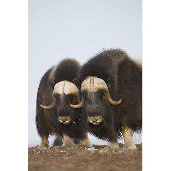 Muskox Bulls On Windswept Ridge During Winter On The Seward Peninsula Near Nome Arctic Alaska PosterPrint