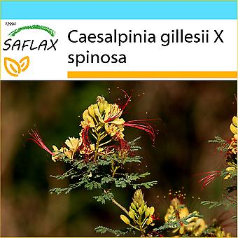 Saflax - Geschenk Set - 10 Samen - Pfau Strauch - extravagante Nain d'Argentine - Uccello del Paradiso - Ave del Paraíso - Winterharter Pfauenstrauch