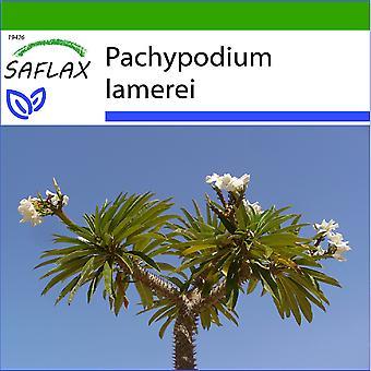 Saflax - 10 Samen - mit Boden - Madagaskar Palme - Palmier de Madagascar - Palma del Madagaskar - Palma de Madagaskar - Madagaskar - Palme