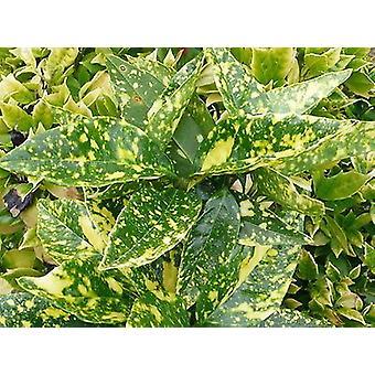 アオキ 9 cm ポットに Crotonifolia - 発見ローレル - 工場