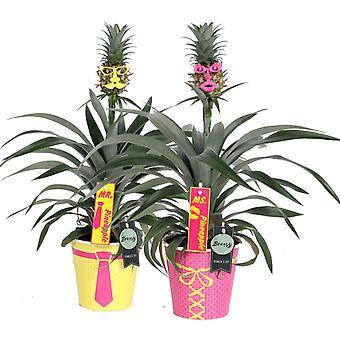 Bromeliad Pineapple plant Mr. & Mrs. Pineapple - set of 2 pieces - Height 40 cm - Diameter pot 12 cm