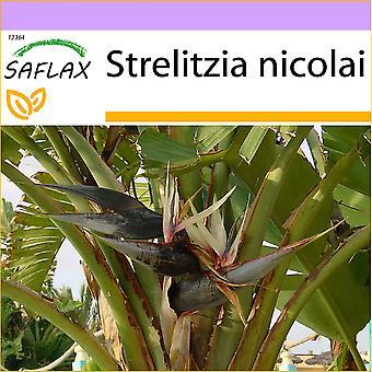 Saflax - 5 semi - White Bird of Paradise - Oiseau de paradis (nicolai) - Uccello del paradiso - Ave del Paraíso gigante - Paradiesvogelblume (nicolai)