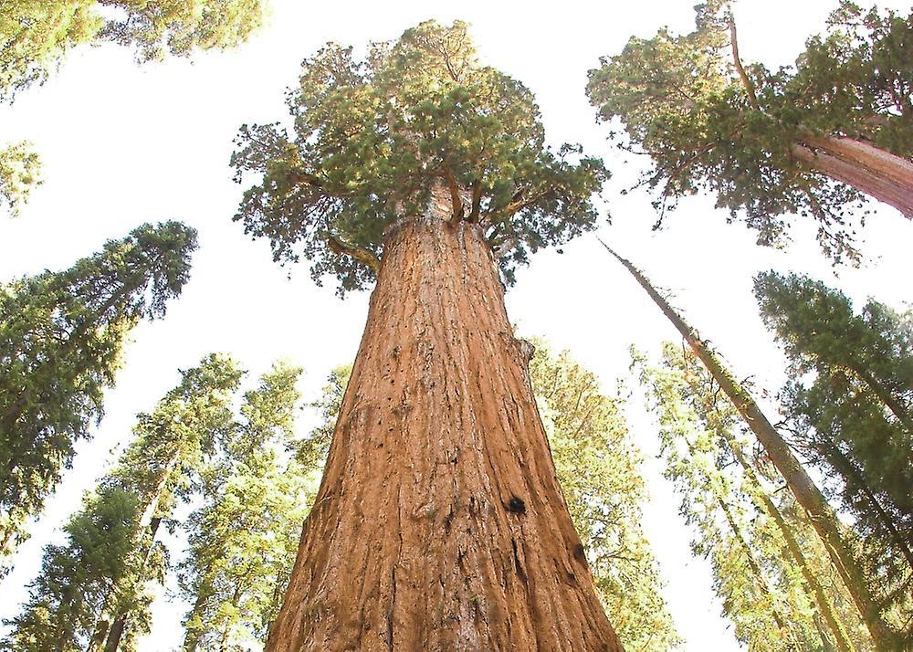 Saflax - 50 semillas - secoya gigante de California - Séquoia géant - Sequoia gigante - Árbol mamut - Berg - Mammutbaum