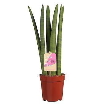 Sansevieria Cylindrica ↕ 40 tot 40 cm verkrijgbaar met bloempot   Sansevieria Cylindrica