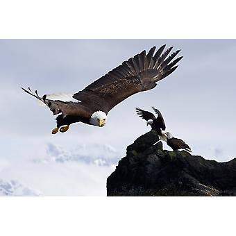 Bald Eagle In Flight Next To Ledge Where Multiple Eagles Are Perched With Mendenhall Towers In The Background Alaska Composite PosterPrint
