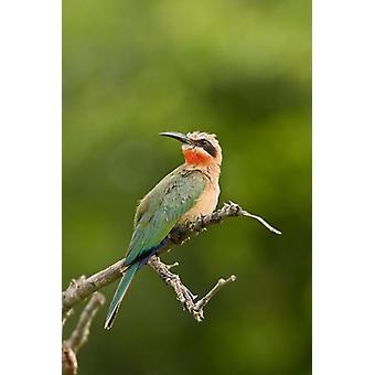 Uccello tropicale Gruccione Whitefronted stampa del manifesto del Sud Africa da Maresa Pryor