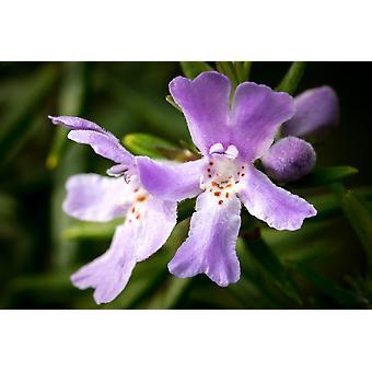 Saflax - 75 seeds - Ground ivy - Lierre terrestre - Edera terrestre - Hiedra terrestre - Gundermann / Gundelreebe