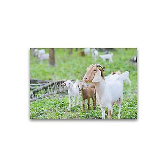 Geiten op een grasveld Poster -Afbeelding door Shutterstock