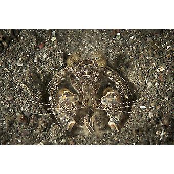 Ein aufspießen Fangschreckenkrebse in seiner Burrow Komodo National Park-Indonesien-Plakat-Druck