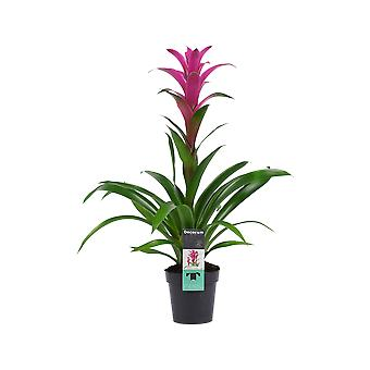 Blume von Botanicly – Guzmanie – Höhe: 60 cm – Guzmania Freya