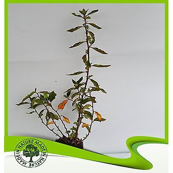 Rhamnus alaternus (Italiaanse duindoorn)-plant