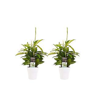Drakenboom ↕ 45 tot 45 cm verkrijgbaar met bloempot | Dracaena surculosa
