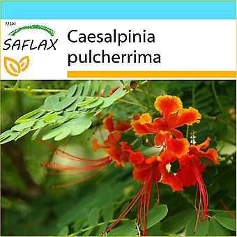 Saflax - Gift Set - 10 sementes - mexicano ave do paraíso - Orgueil de Chine - Orgoglio delle Barbados - Pequeño flamboyan - Pfauenstrauch / Stolz von Barbados