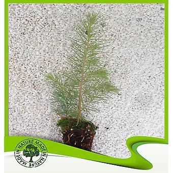 Cedrus atlantica (Atlas ceder)-plant