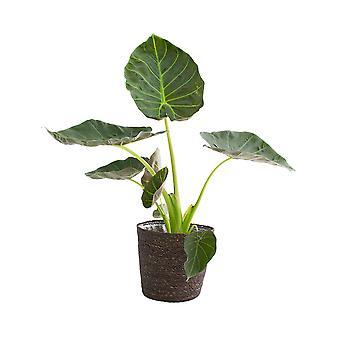 Indendørs plante – Alocasia i grå kurvpotte som sæt – Højde: 50 cm