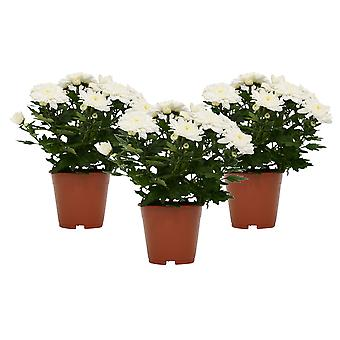 Blumen von Botanicly – 3 × Chrysanthemen – Höhe: 25 cm – ChrysanthemumChrysanneMargarita