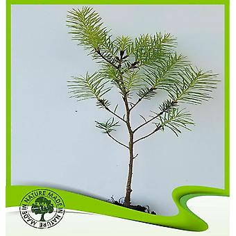 Pinus pinea (Pino paraguas) - Planta