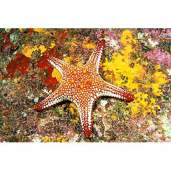 Mexico Gulf sea star (Pentaceraster cumingi) on colorful coral PosterPrint