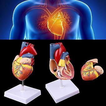Free Postage Disassembled Anatomical Human Heart Teaching Tool