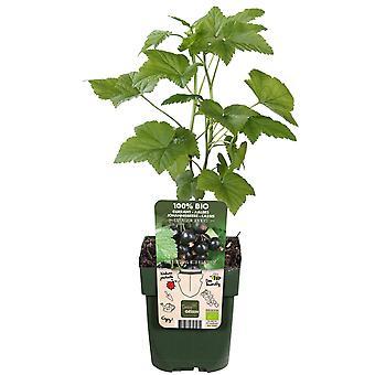 Fruitgewas van Botanicly – Zwarte Bes – Hoogte: 55 cm – Ribes nigrum Ben Nevis