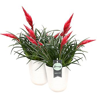 Breasy® - Bromeliad Vriesea Multiflora Astrid Red with pot - Set of 2 pieces