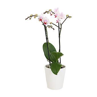 BOTANICLY Phalaenopsis Pico Sweet heart - Vlinder orchidee