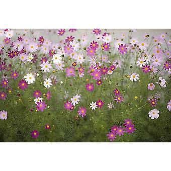 Tapet väggmålning kosmos blommor