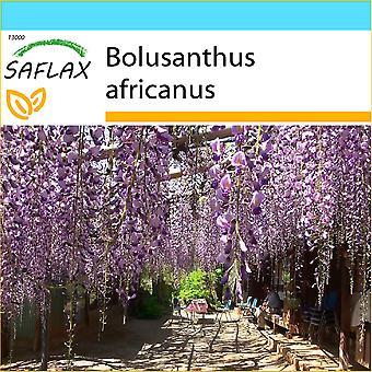 Saflax - Gift Set - 15 semi - Albero di glicine africano - Arbre glicina - Glicine africana - Glicinia africana - Afrikanischer Blauregen