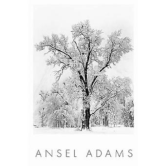 Oak Tree lumimyrsky Juliste Tulosta Ansel Adams (24 x 36)