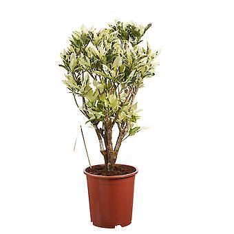 Croton ↕ 100 to 150 cm available with planter | Codiaeum variegatum Tamara
