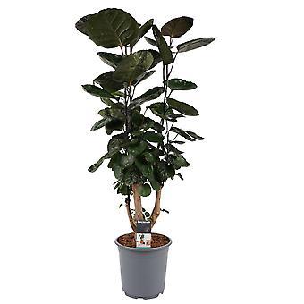 Pianta d'appartamento da Botanicly – Aralia – Altezza: 85 cm – Polyscias Fabian