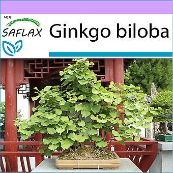 Saflax - 4 frø - Bonsai - Maidenhair Tree - Ginkgo - Albero dei ventagli - Ginkgo - B - Ginkgo