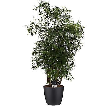 Planta Interior – Aralia em vaso de planta preto como conjunto – Altura: 95 cm